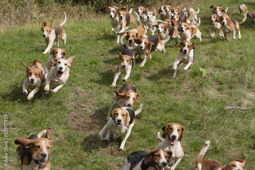 Keuken foto achterwand Jacht Beagle Hundemeute
