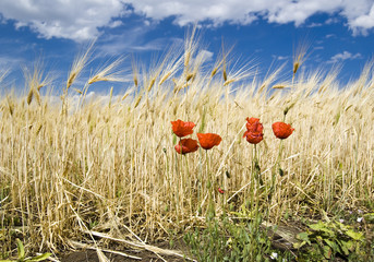 poppys on the wheat field