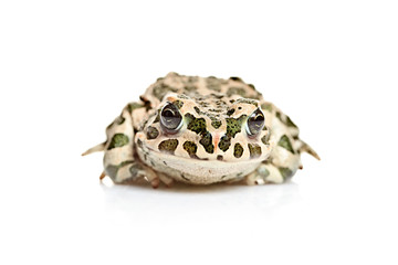 A frog isolated on white background