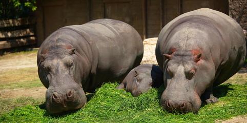 hippos family_2