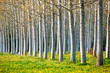 A row of spring poplar trees