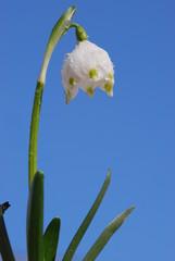 Märzbecher (Leucojum vernum )