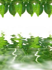 green lemon leaves