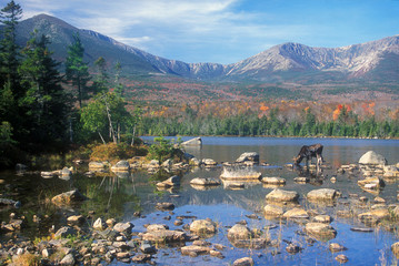 Bull Moose feeding in pond below Mount Katahdin, Maine