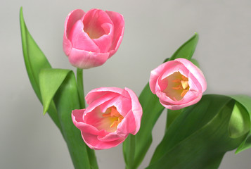 Three nice blossomed pulips