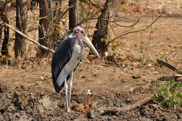 Marabou stork in Kruger national park,South Africa