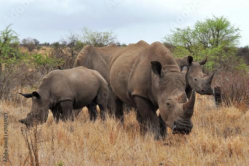 Poster Neushoorn rhino family in Kruger national park