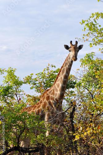 Fototapeta curious giraffe in Kruger national park,South Africa
