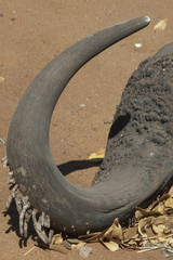 Cuerno de bufalo acuático