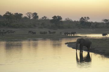 Elefantes bebiendo al atardecer en el delta del Okavango.
