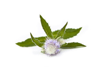 Mint flower isolated on white