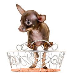 Puppy of toy-terrier in studio