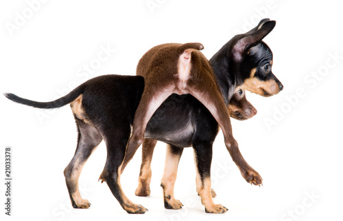 Puppies of toy-terrier in studio