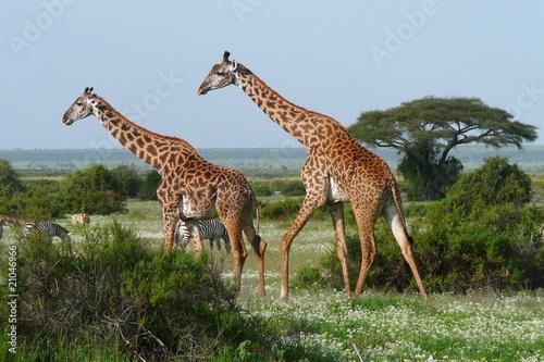 dwa-zyrafy-w-afrykanskiej-sawannie