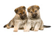 Sheepdogs puppys isolated over white background