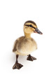 duckling standing isolated on white