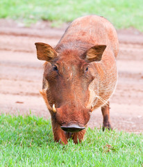 Dirty female Warthog eating short green grass crouching