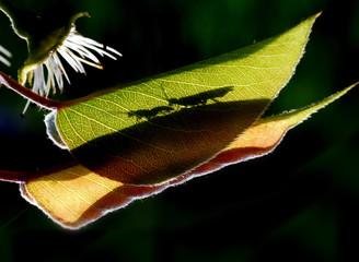 葉子, 昆虫,剪影,