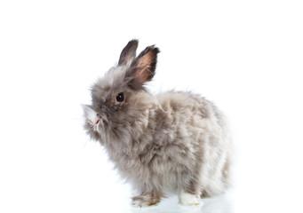 fluffy rabbit isolated on white background