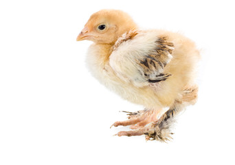 newborn baby chicken isolated on white background