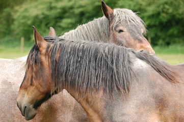 Affection between a couple of young draft horse mares