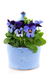 Violets for the garden
