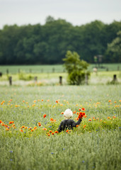 Young boy picking up poppy flowers in a poppy field. Rear view.