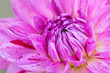 Macro view of pink flower dahlia