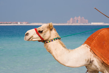 Camel on Jumeirah Beach Dubai, Atlantis the Palm in the distance