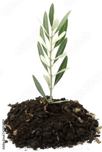 naissance olivier fond blanc