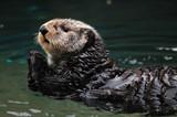 Fototapety Arctic sea otter