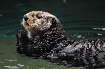Arctic sea otter