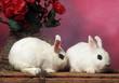 deux lapins nains Hotot à la queue leu leu