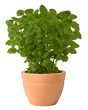 Lemon balm growing in a pot