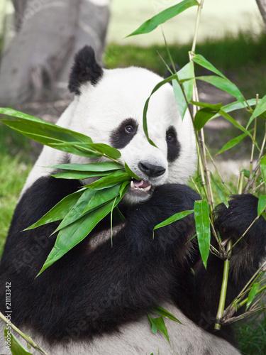 Fototapeten,panamericana,china,bär,bambus
