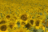 Sunflowers field, Provence France
