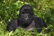 Fototapeten,gorilla,afrika,rwanda,rutschbahn
