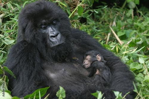 Fototapeten,gorilla,afrika,rwanda,dhoni