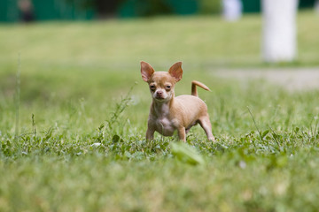 Chihuahua dog standing on the grass