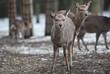 sika deer (lat. Cervus nippon).