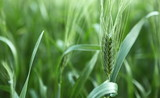 Unripe green ears of barley poster