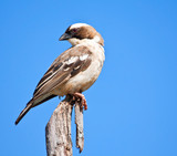 White-browed Sparrow Weaver sitting on a wooden pole poster