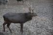 young sika deer (lat. Cervus nippon)