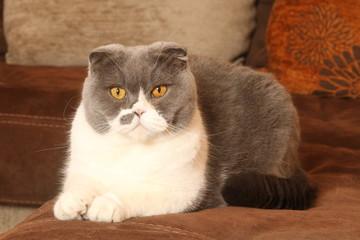 scottish fold gris et blanc et sévère allongé sur le canapé