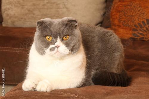 Scottish fold gris et blanc et s v re allong sur le for Canape qui s allonge
