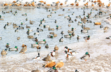 Waterfowl, many birds in whe winter lake