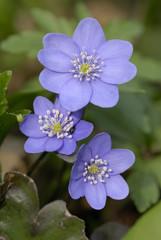 Flowers of liverwort (Hepatica nobilis)