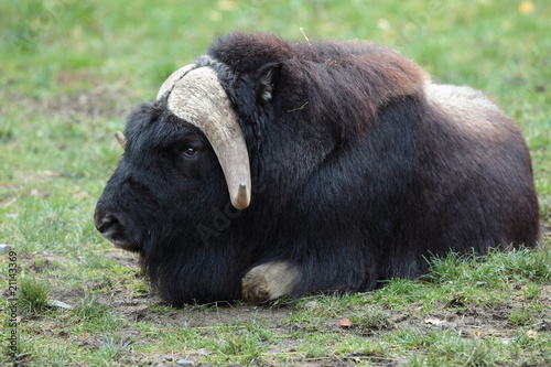 portrait of a musk ox (Ovibos moschatus) in nature.