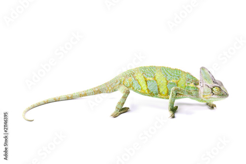 Beautiful big chameleon on white background