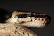 Closeup Snake